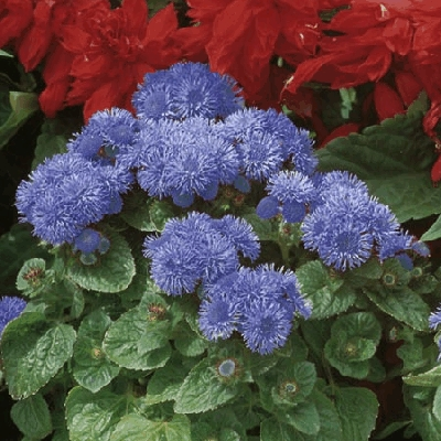 Ageratum F1 Blue Mist Roceco Ecological Products Buy