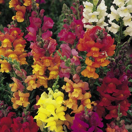 Antirrhinum Illumination Mix Seeds