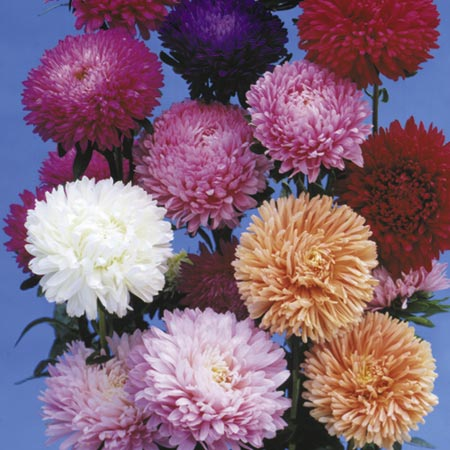 Aster Big Boy Mix Seeds