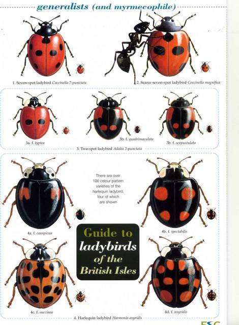 FIELD GUIDES - LADYBIRDS