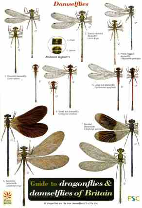 FIELD GUIDE - DRAGONFLIES