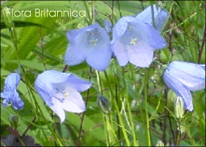 24 Harebell Wild Flower Postcards