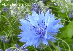 24 Cornflower Wild Flower Postcards