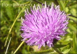 24 Greater Knapweed Wild Flower Postcards