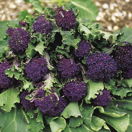 Broccoli (Sprouting) Summer Purple Seeds
