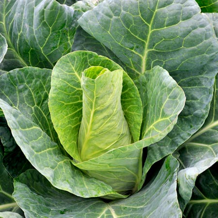 Cabbage F1 Rubeny Seeds