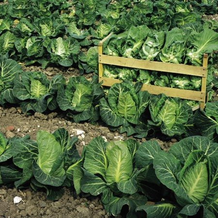Cabbage Wheelers Imperial Seeds