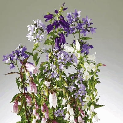 Campanula Cottage Garden Mix