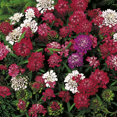 Candytuft Fantasia Mix Seeds Roceco Ecological Products