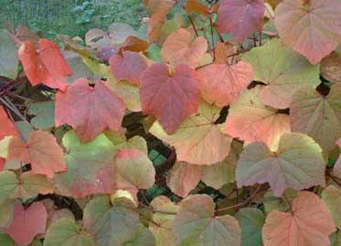 Vitis Coignetiae Roceco Ecological Products Buy Online Uk