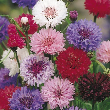 Cornflower Polka Dot Mix Seeds