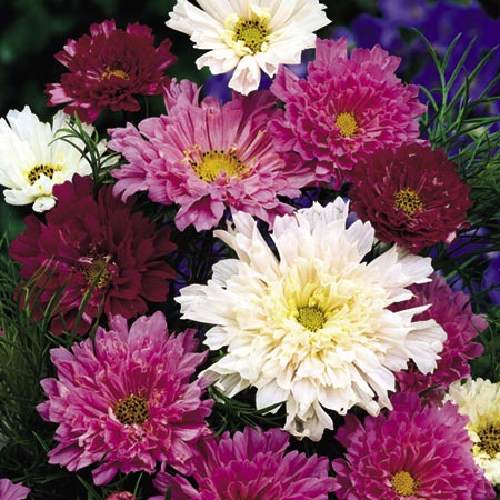 Cosmea Double Click Seeds