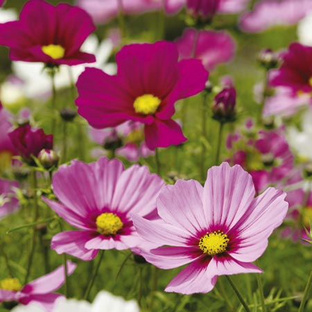 Cosmea Sonata Dwarf Mix Seeds