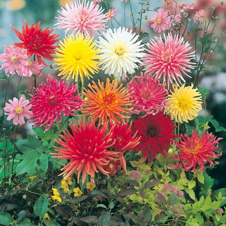 Dahlia Clangers Mix Seeds
