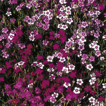 Dianthus Twinkletoes Mix Seeds