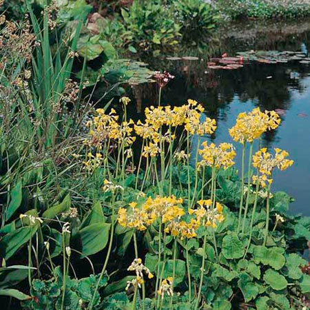 Giant Himalayan Cowslip (Eden Project range)