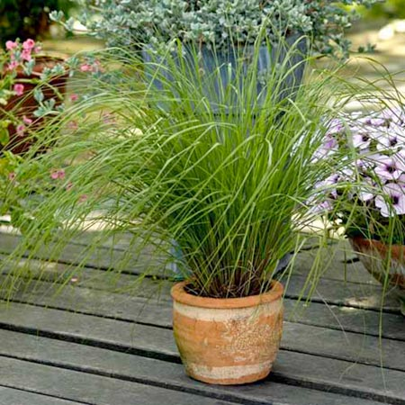 Grasses ornamental bunny tails seeds roceco ecological for Ornamental grass in containers for privacy