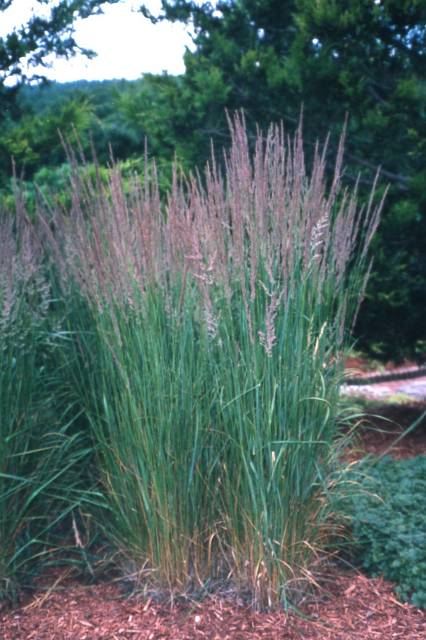 Ornamental grasses roceco ecological products buy for Tall ornamental grasses for pots