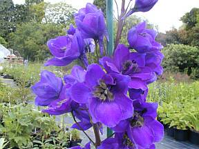 Delphinium 'Black Knight'