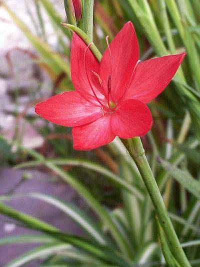 Schizostylis coccinea 'Major'