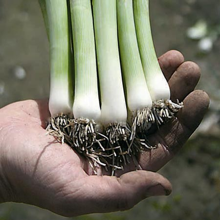 Leek Swiss Giant Zermatt Speedy Seeds
