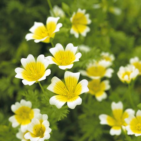 Limnanthes Douglasii Poached Egg Plant Seeds Roceco