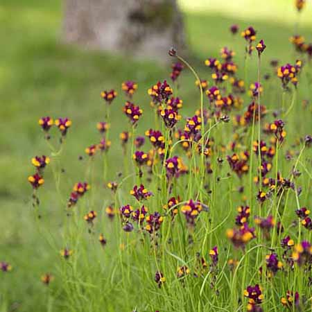 Linaria Flamenco Seeds