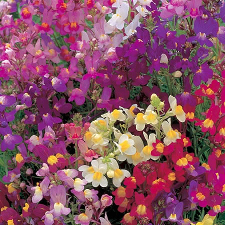 Linaria Fairy Bouquet Seeds