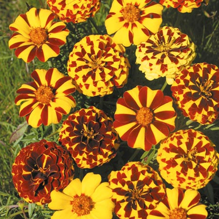 Marigold (French) Bo Jangle Seeds