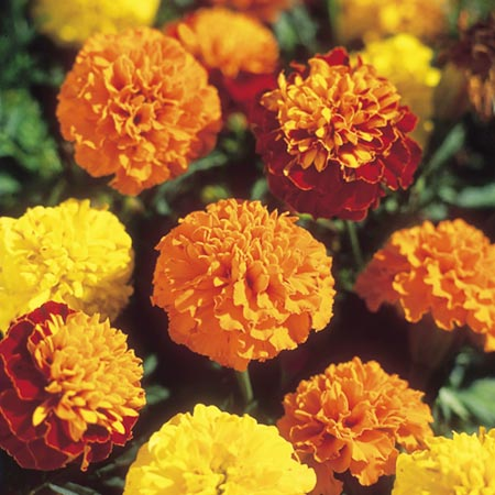 Marigold - French Boy-O-Boy Mix Seeds