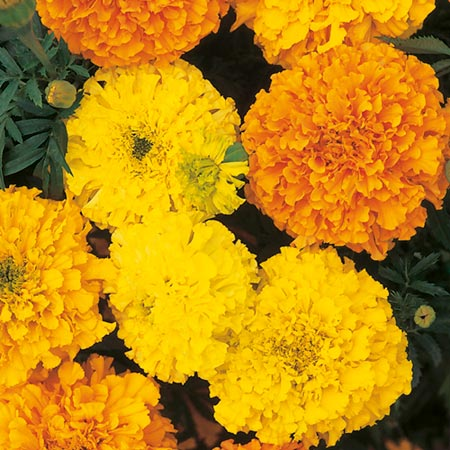 Marigold - African Crackerjack Mix Seeds