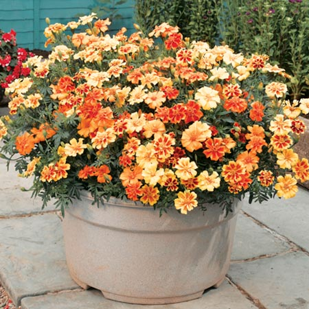 Marigold Afro-French F1 Super Hybrid Single Mix Seeds
