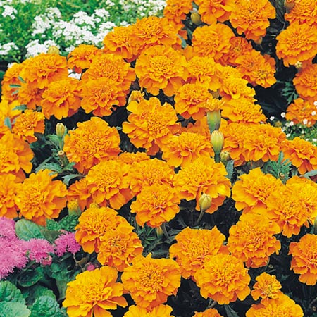 Marigold - French Orange Winner Seeds