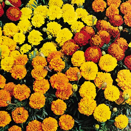 Marigold - French Petite Mix Seeds