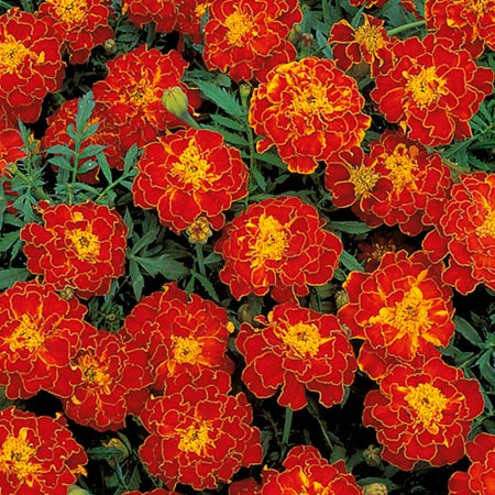 Marigold - French Red Brocade Seeds