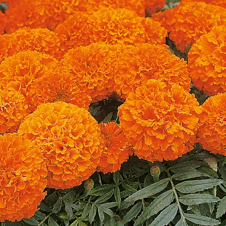 Marigold (African) Space Hopper Seeds