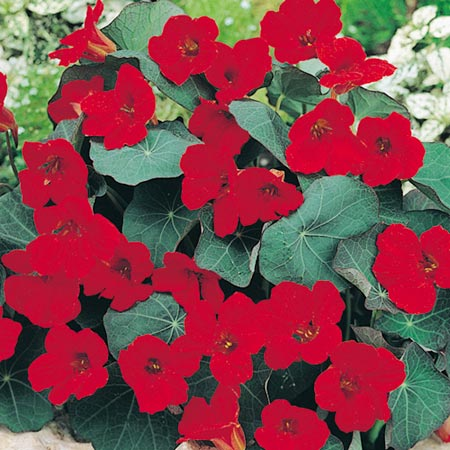 Nasturtium Empress of India Seeds : Roceco, Ecological