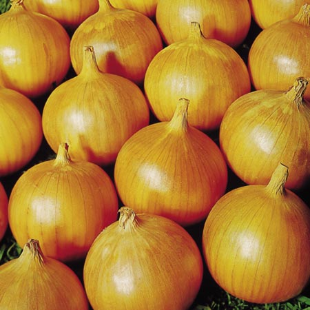 Onion Bedfordshire Champion Seed