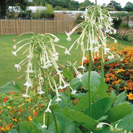 Image gallery ornamental tobacco for Ornamental vegetable plants