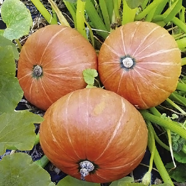 Pumpkin Amazonka Seeds
