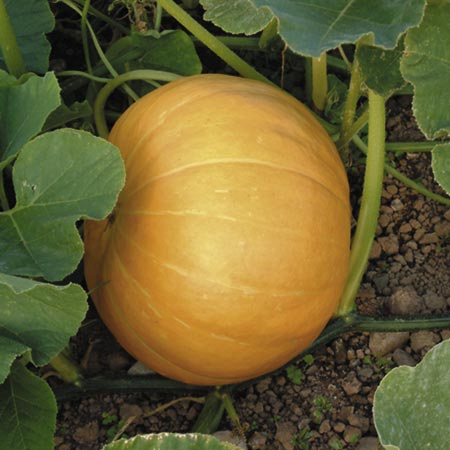 Pumpkin Hundredweight Seeds