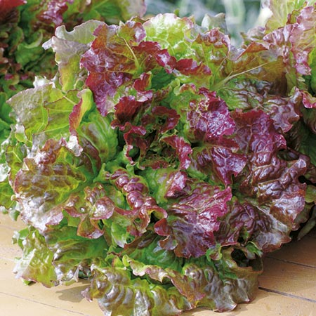 Red 'Picking' Lettuce (Eden Project range)