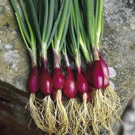 Red Salad Onion Eden Project Range Roceco Ecological