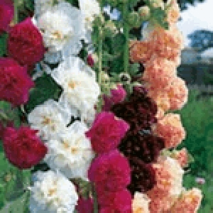 Hollyhock Chater's Mix (Alcea)