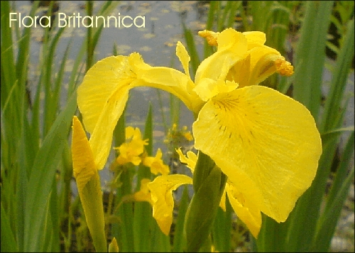 24 Flag Iris Wild Flower Postcards