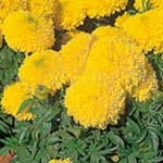 Marigold - African Yellow Galore