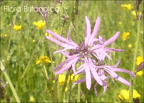 24 Ragged Robin Wild Flower Postcards