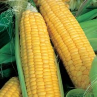 Sweet Corn - Sweet Bounty F1