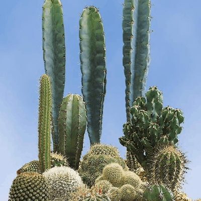 Cactus 'Prickly Characters'