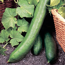 Cucumber Tasty King